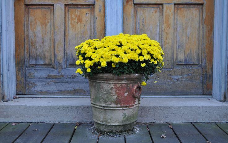 Una bellissima macchia di colore con questi crisantemi gialli