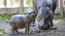 Olivia is a new-born hippopotamus in Parken Zoo, Sweden