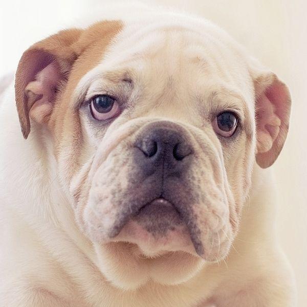 English Bulldog Puppy By Irina Safonova Photograph - English Bulldog Puppy by Irina Safonova#IrinaSafonova#Works #FineArtPhotography #HomeDecor#IrinaSafonovaFineArtPhotography #ArtForHome #FineArtPrints #HomeDecor #Animal #dog #puppy