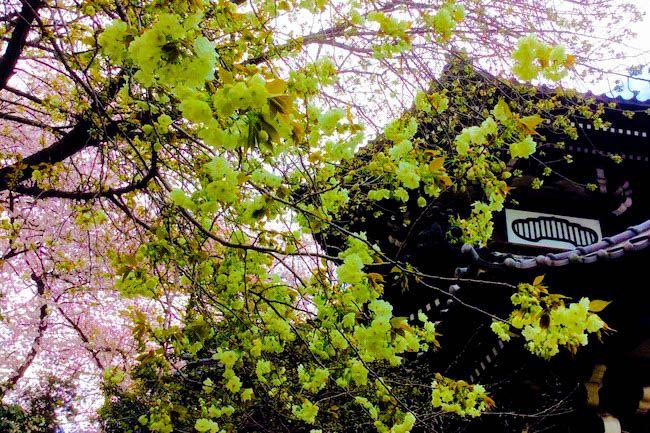 今年も桜の季節になりました。都内では3月中旬から4月上旬までが桜が見頃です。街中… ?l=jxs0dfbee1