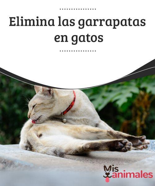 Elimina las #garrapatas en #gatos Se ha hablado mucho sobre cómo eliminar garrapatas en perros. Pero estas #también afectan a otras mascotas, los gatos por ejemplo. ¿Se pueden usar las mismas #técnicas en este caso? ¿Cómo eliminar las garrapatas en gatos? Te lo contamos.