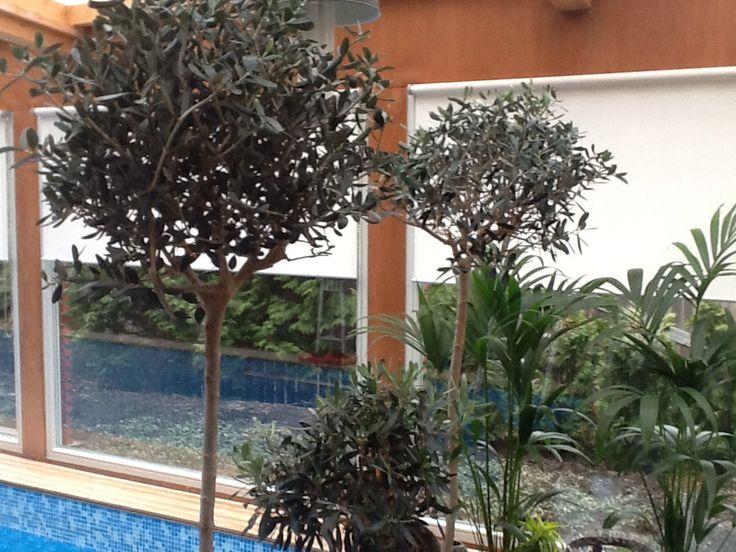 Oliivipuita ja Kentian palmuja