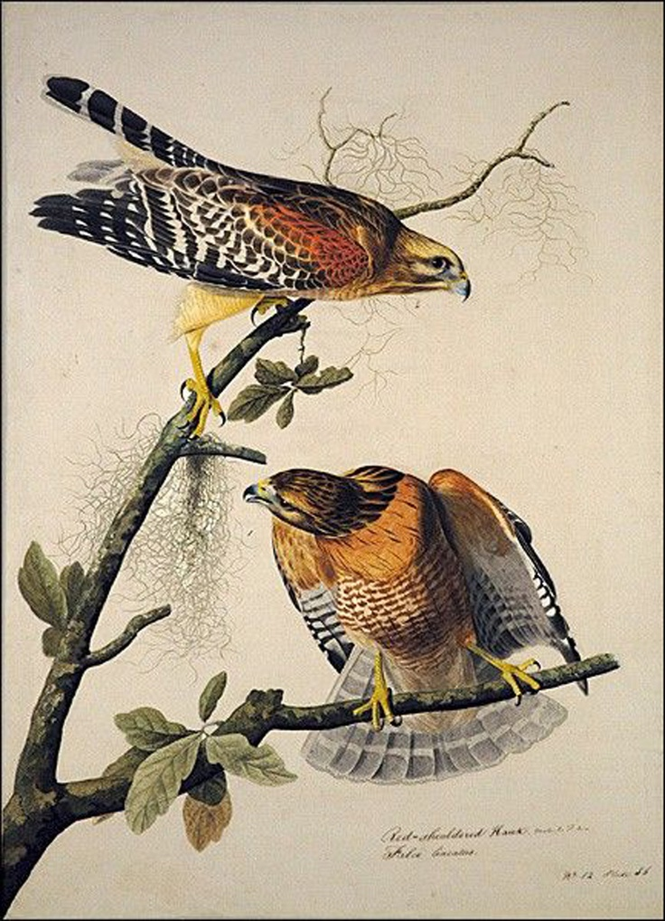 What american artist painted this picture of Red-Shouldered Hawks in the early 1800's?