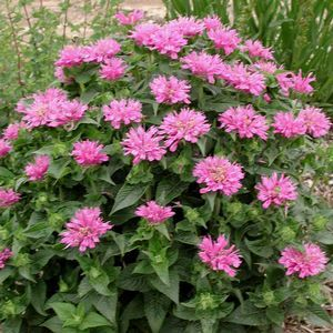 Monarda didyma 'Petite Wonder'Didyma Petite, Attraction Hummingbirds, Design Boards, Backyards Oasis, Front Flower Beds, Bees Balm, Zhorticulture Zon 10, Cut Gardens, Favorite