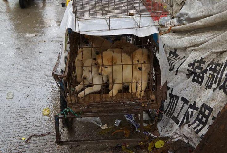 Fête de la viande de chien : Entre 10 et 20 millions de chiens sont tués chaque année en Chine pour être mangés, selon Humane Society International.