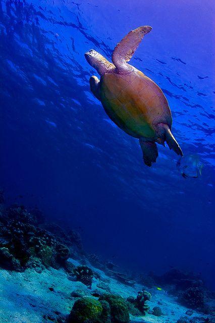 Green Sea Turtle on the reef underwater in Sipadan Island, Borneo - Malaysia. #seaturtle #turtle #Borneo