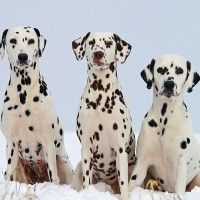 #dogalize Dog Breeds: Dalmatian temperament and personality #dogs #cats #pets
