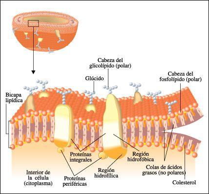 MOSAICO FLUÍDO DE LA MEMBRANA CELULAR: El modelo de mosaico fluido es, en biología, un modelo de la estructura de la membrana plasmática propuesto en 1972 por S. J. Singer y Garth Nicolson gracias a los avances en microscopía electrónica, el estudio de interacciones hidrófilas, al estudio de enlaces no covalentes como puentes de hidrógeno y el desarrollo de técnicas como la criofractura y el contraste negativo.
