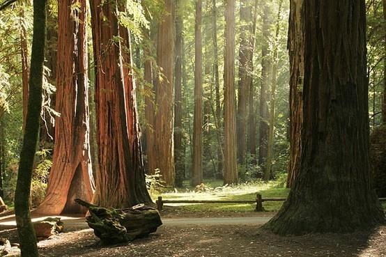 Armstrong Grove near Santa Rosa, CA svedipie