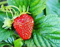 Erdbeeren auf dem Balkon und auf dem Fensterbrett pflanzen