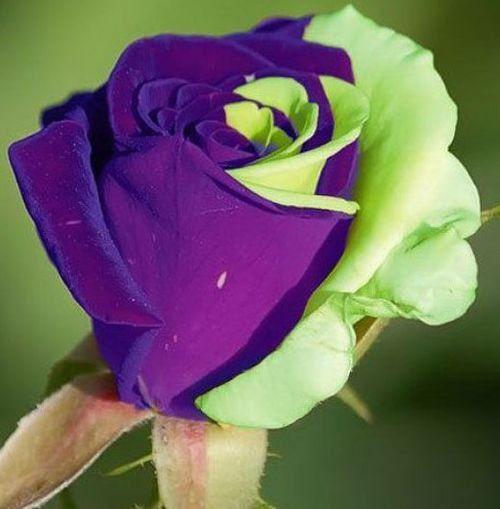 Purple Green Mix Rose Bud