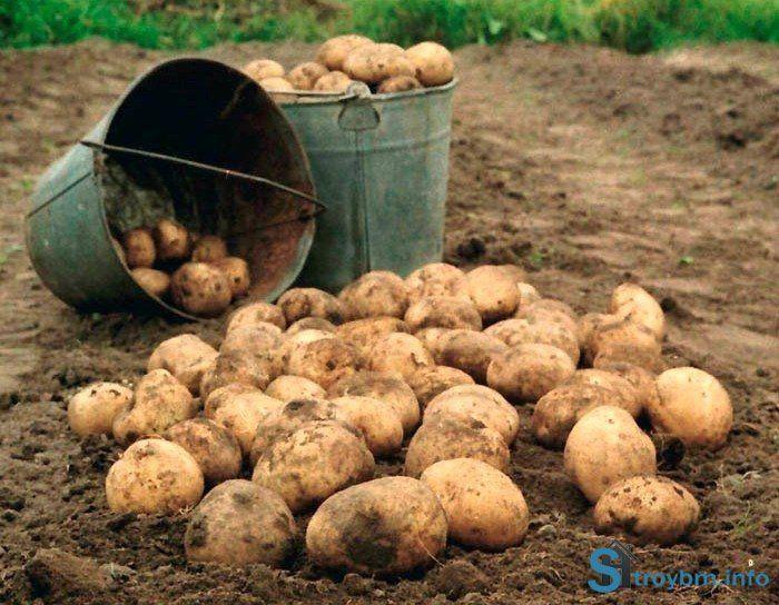 Кто куда! А я на поле! Посадка картофеля осенью