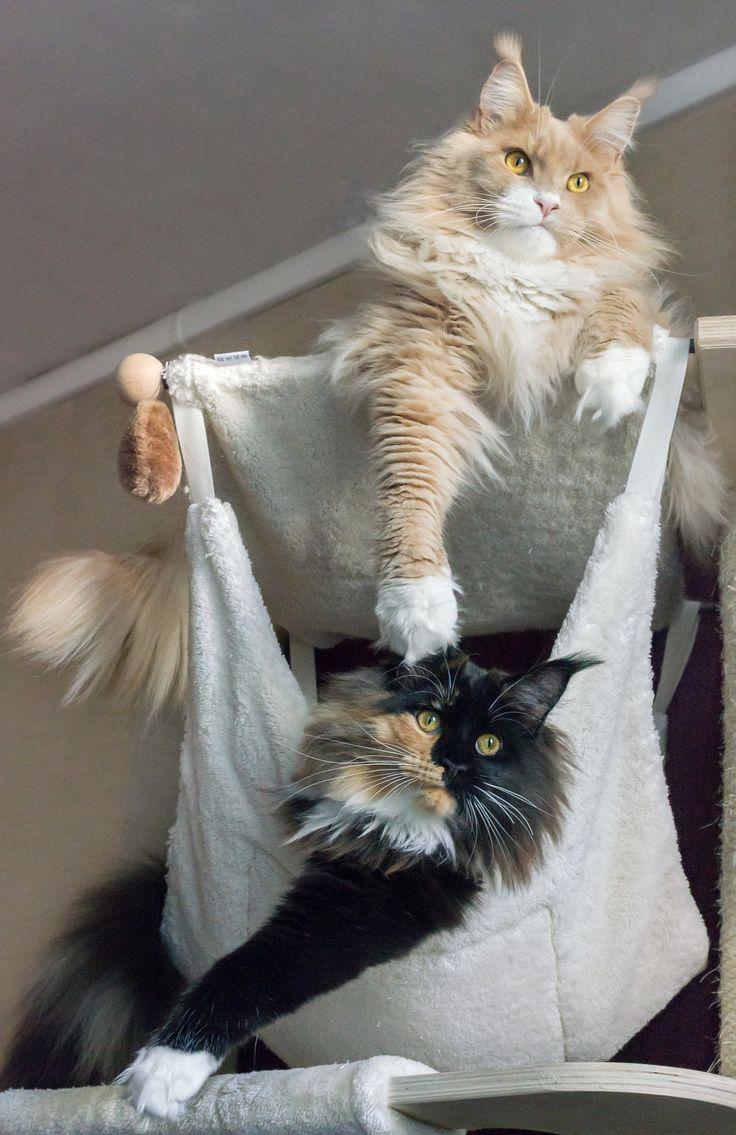jiyuu et luna - Jiyuu of Roswell crème smoke et blanc mâle neutré 20 mois et Lunatic Catwoman of Roswell black tortie et blanche femelle neutré 9 mois  Maine coon cats