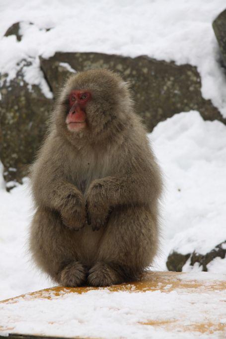 Parc aux singes de Jigokudani, Japon / Snow Monkey Park, Japan
