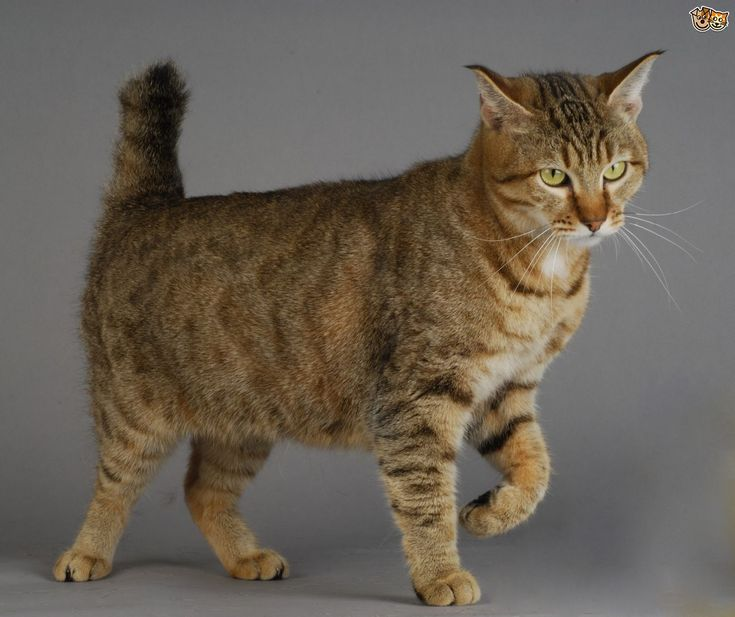 large domestic cat breeds | Large Domestic Cat Breeds With Wild Relatives