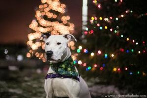 Sapphire is an adoption pending Pit Bull Terrier Dog in Methuen, MA. Do you believe this precious face? It belongs to our new girl, Sapphire, who is only a year and a half old. Sapphire is silly, ha...