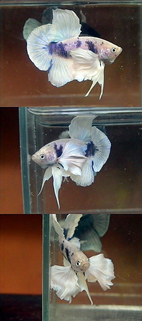 141 best images about betta fish on pinterest copper for Large betta fish tank