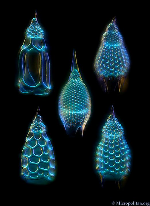 Radiolarians of Podocyrtis (Lampterium) Radiolaria are amoeboid protozoa that produce intricate mineral skeletons. They are found as zooplankton throughout the ocean, and their skeletal remains cover large portions of the ocean bottom as radiolarian ooze.