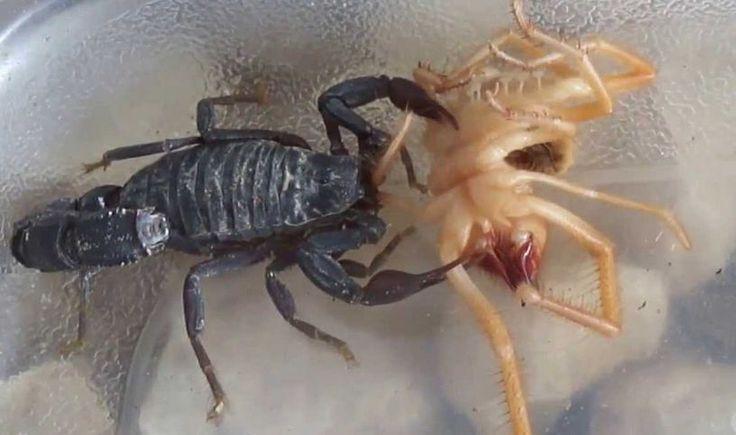 Camel Spider Vs Scorpion Fight