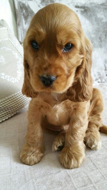 golden cocker spaniel puppies fluffy friends pinterest best 25 english cocker spaniel ideas on pinterest