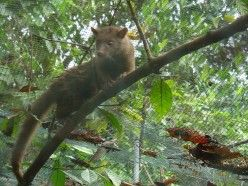 Asian Palm Civet climbing a tree- I know they are not cats but I love them-