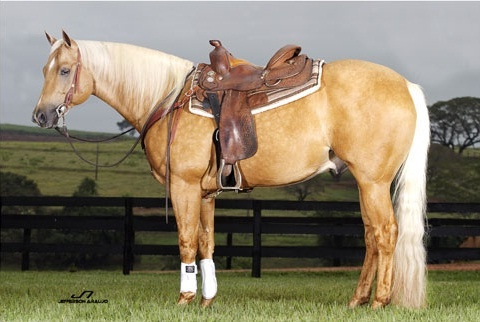 American Palomino quarter horse pictures recommend dress in winter in 2019