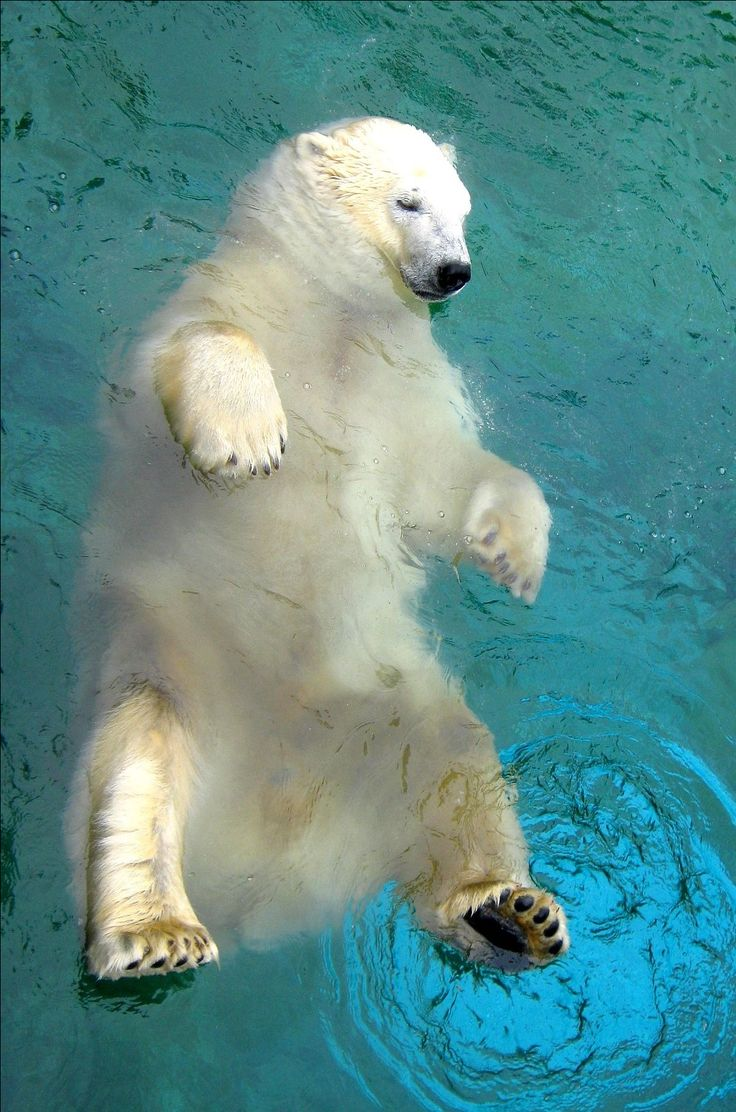Beautiful polarbear ~ photo by my daughter Selina at Seaworld, Gold Coast, Australia 2013