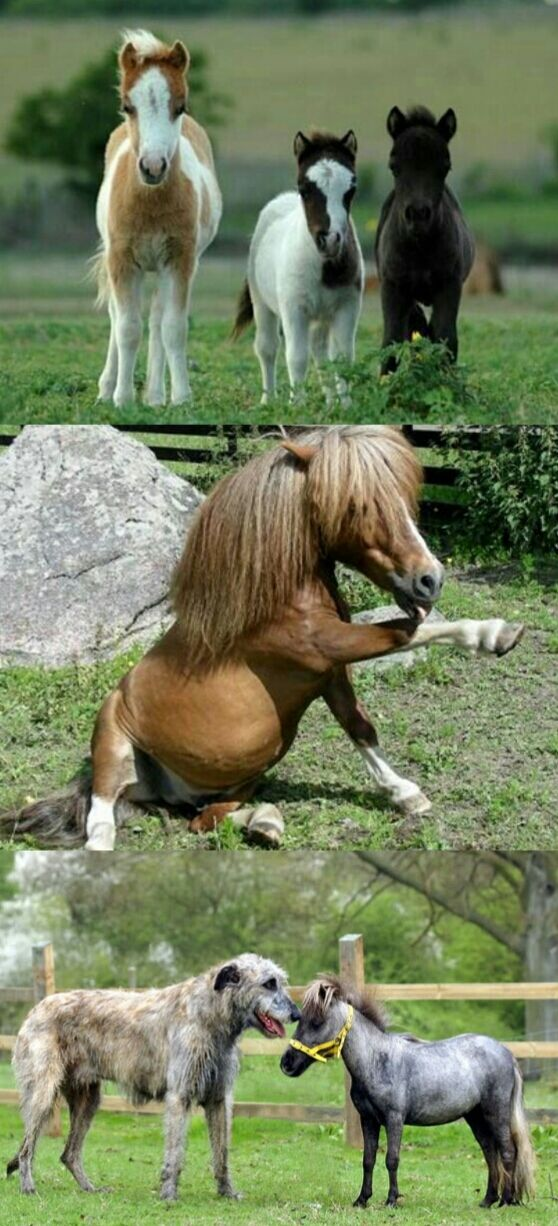 The Falabella is a small Argentine horse that rarely stands above 32 inches in height. It is one of the smallest breeds of horses. Unlike other horse breeds the Falabella has seventeen vertebrae instead of eighteen and one less pair of ribs. http://ift.tt/1NTPgJs