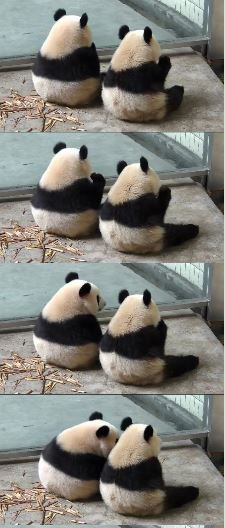 Twin panda cubs in China.....oh my days im dying from cuteness overload right now 【パンダ : 支那人が侵略して、チベット人を虐殺して土地ごと奪ったチベットの熊。※チベットもウイグルも支那の一部ではありません!】