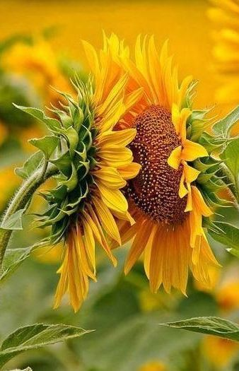 Kissing sunflowers.  :)