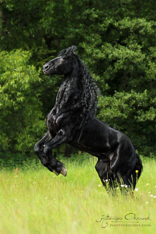 ☀ Friesian stallion by Katarzyna Okrzesik