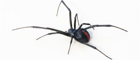 """Redback spider species"" deadly poison is further expanding the habitat, habitat has been identified in 23 prefectures."