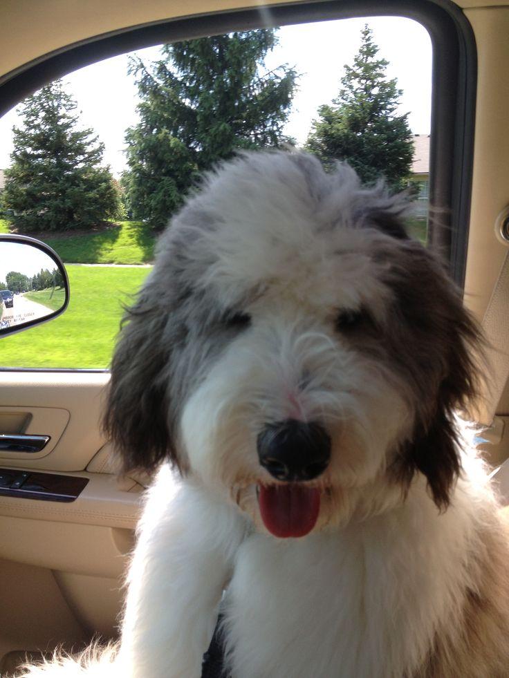 Sheepadoodle Leo Leo Sheepadoodle Puppy Pinterest Leo