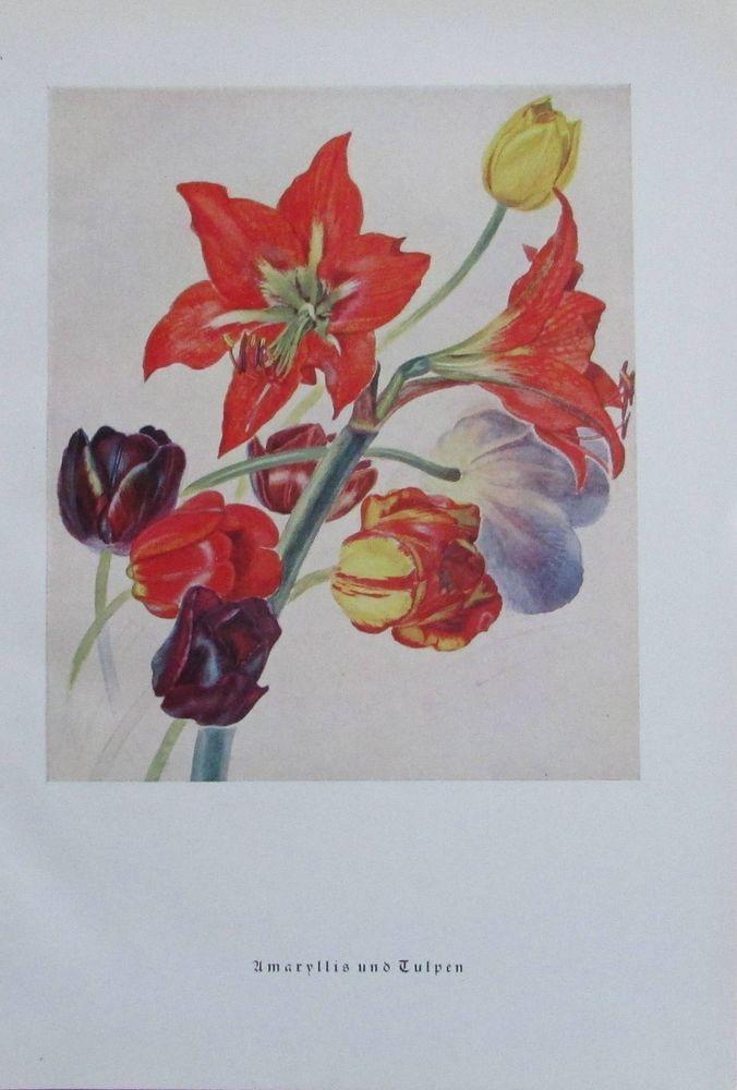 1939 Amaryllis und Tulpen von Maria Grengg - altes Bild Reproduktion