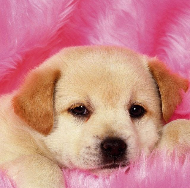 Download Too Cute Really Cute Puppies Cute Dog Download Download Cane Cucciolo Wallpaper By Djicio Cute Dog Wallpaper Very Cute Puppies Cute Puppies Images