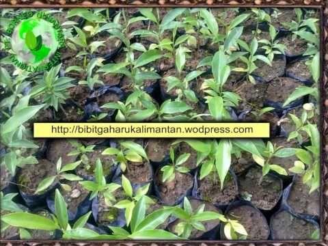 Bibit Gaharu (aquilaria malaccensis)anakan,biji kutai karta negara/ teng...