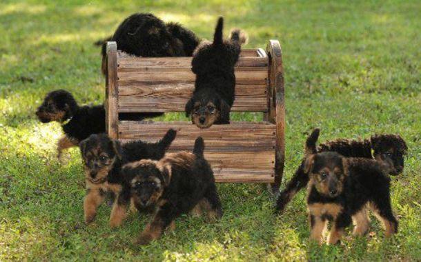 Airedale Terrier cuccioli