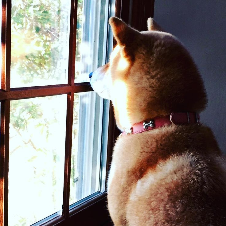 #shibainu #dog