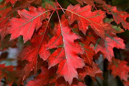 Quercus borealis 1