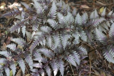 Ferns For Zone 3 Gardens: Types Of Ferns For Cold Climates -  Ferns are one variety of plant that is extremely hardy and adaptable. Not all ferns are cold hardy, but quite a few are. Learn more about cold hardy fern plants, specifically garden ferns hardy to zone 3, in this article.