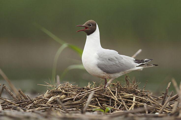 Chroicocephalus ridibundus - Black-headed Gull