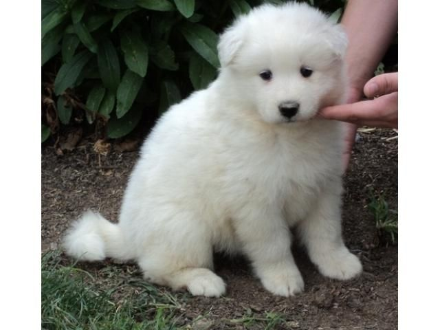 Samoyed Puppies Price In Bangalore Samoyed Puppies For Sale In