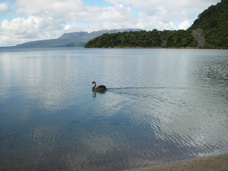 A black swan glides across one of the lakes about Rotorua, NZ.