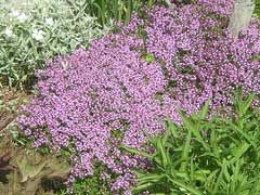Thymus serpyllum Wild Thyme (evergreen shrub, raw in salads or added as a flavouring to cooked foods. An aromatic tea is made from the fresh or dried leaves).