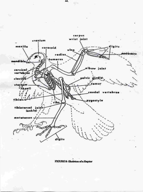 Hawk Skeleton Diagram