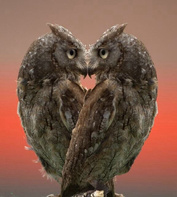 Never noticed owls can form a heart shape. Or they also look like an angel with her wings folded forward.