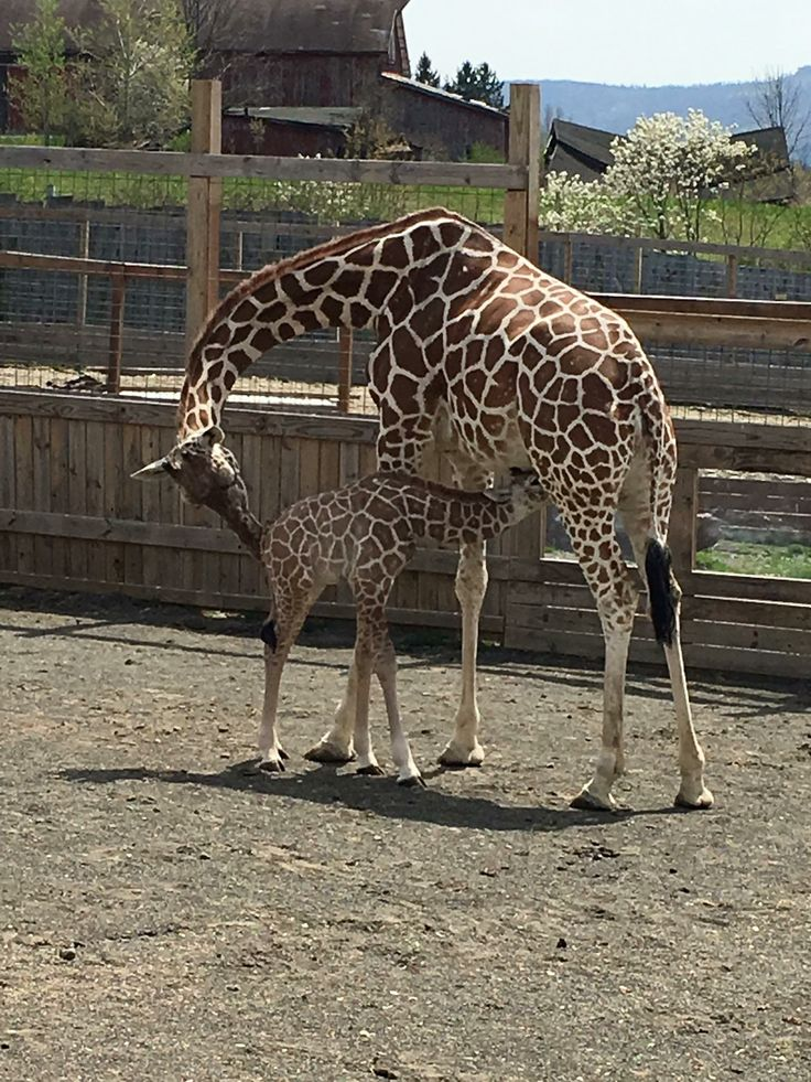 860 Best Images About Giraffes On Pinterest