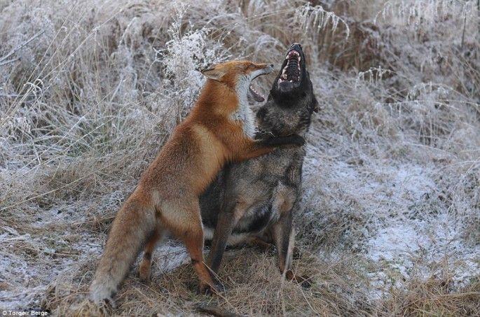 le chien et le renard jouent rox et rouky en vrai 8   Le chien et le renard ou Rox et Rouky pour de vrai   Torgeir Berge renard photo image ...