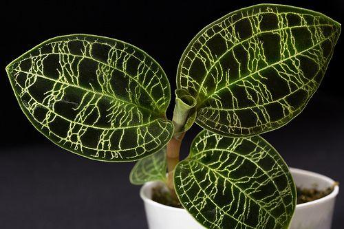 jewel orchid macodes petola -