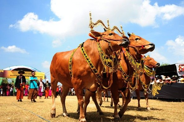 Enthusiasts Gather For The Sapi Sonok Festival 2013 Female Cow Beauty Contest Madura cow